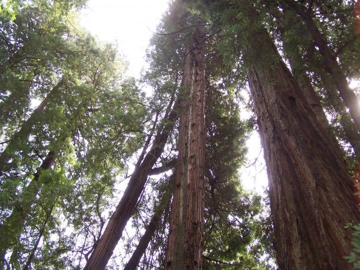 california_redwood