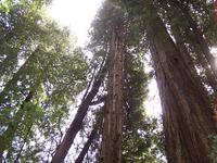 california_redwood